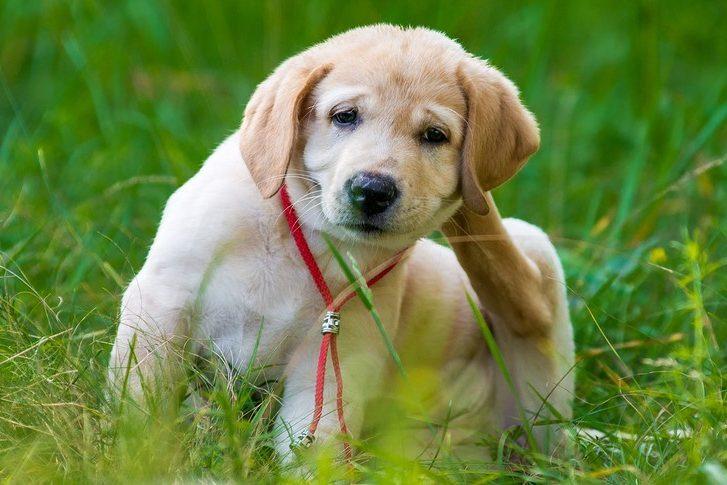 golden retriever puppy scratching allergy