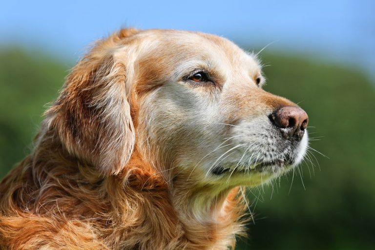 Old Golden Retriever Feels Better with Dog Supplements